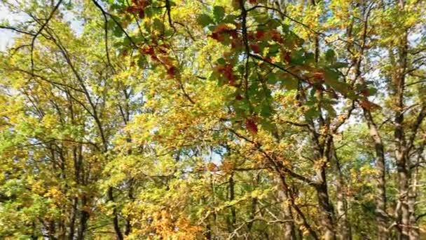 Kruhové panorama dubů s barevnými podzimními listy v dubovém lese