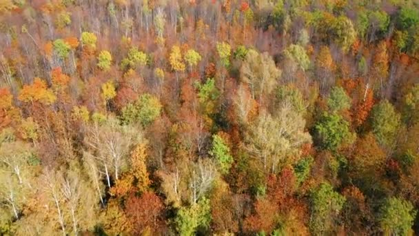 Aerial video of a flight over the tops of colorful trees in the autumn forest