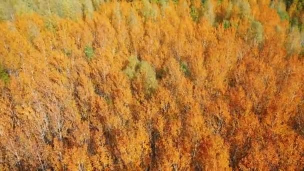 Aerial video of a flight over the tops of bright red aspen trees