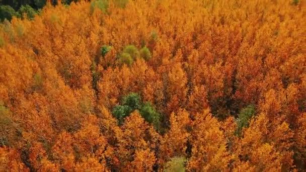Letecké video letu nad vrcholky jasně červených osikových stromů