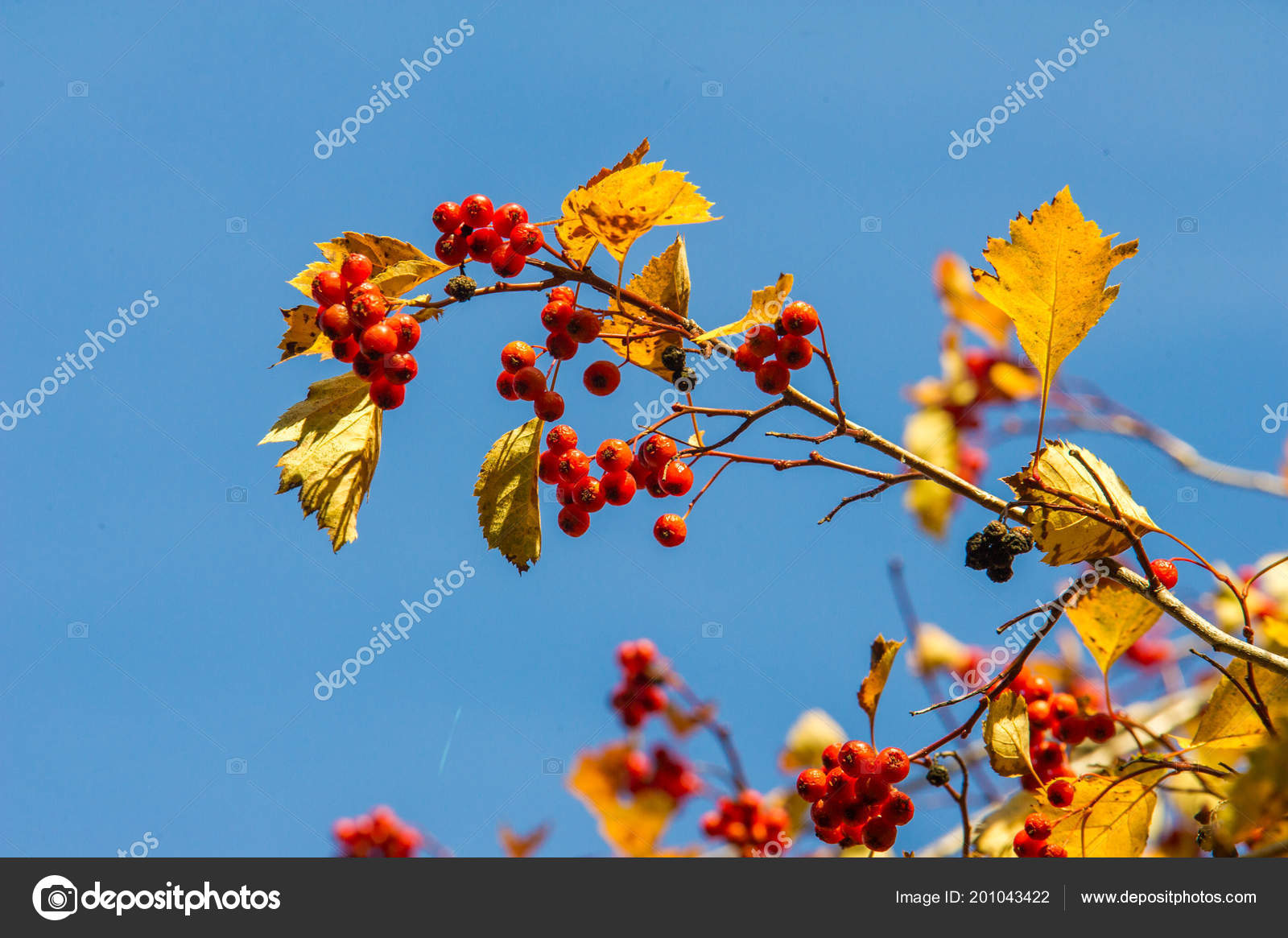 Texture Background Pattern Autumn Hawthorn Red Berries Thorny