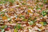 Textura, pozadí, vzor. Podzimní listy listy na zemi. Červená žlutá ruby