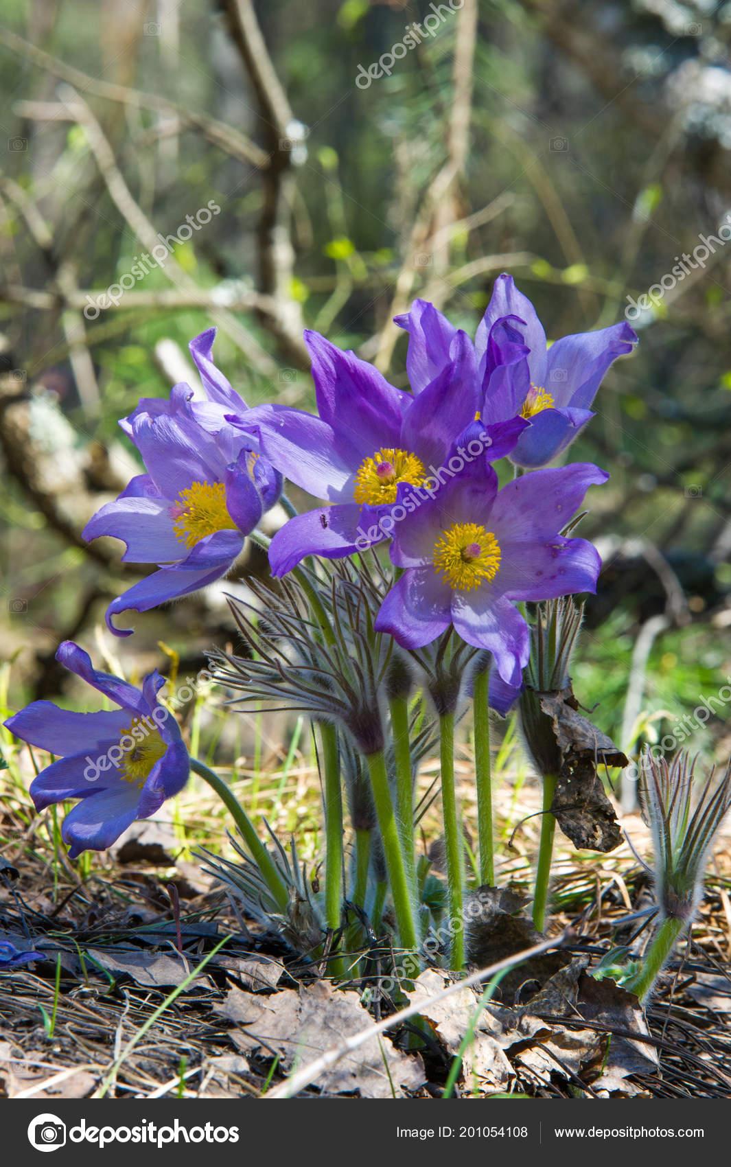 Spring Landscape Flowers Growing Wild Spring Flower Pulsatilla