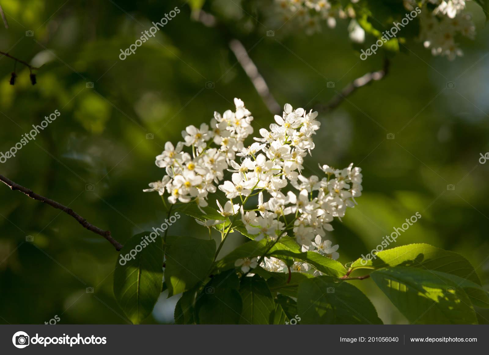 Fleurs Printemps Cerisier Des Oiseaux Arbre Avec Des Fleurs Blanches