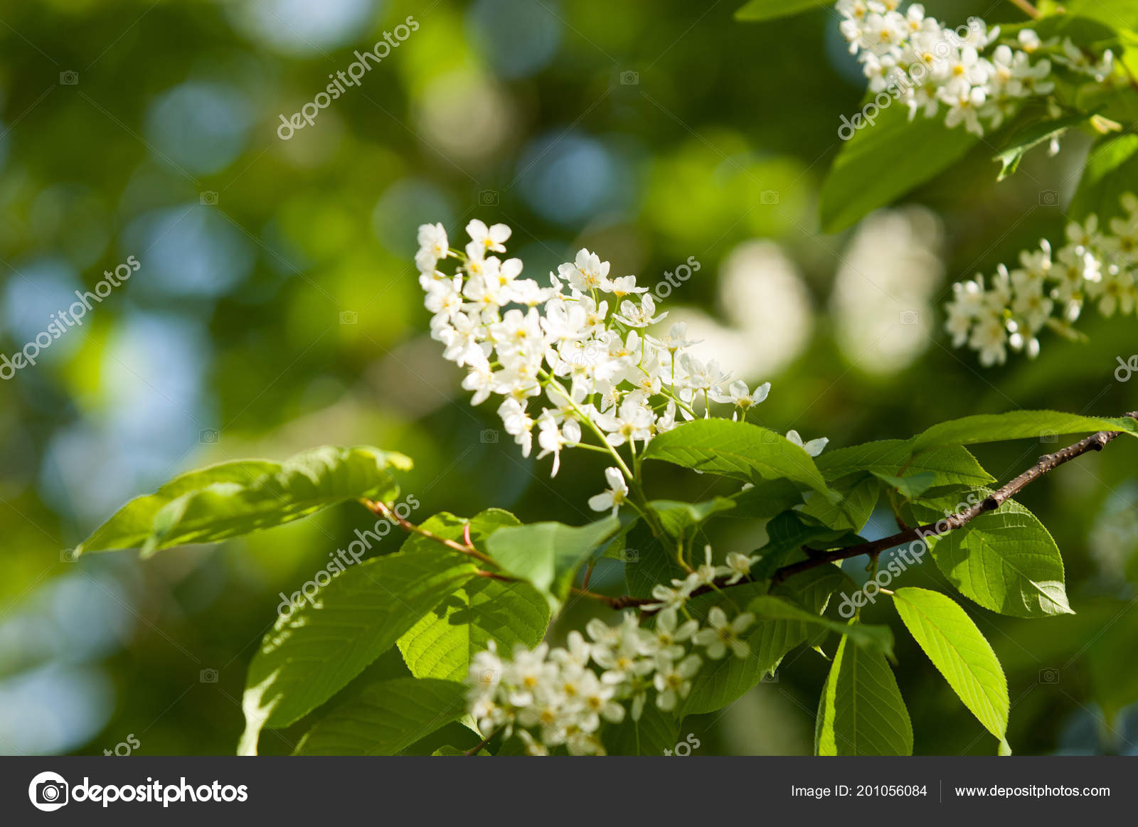 Spring Flowers Bird Cherry Tree White Fragrant Flowers Collected