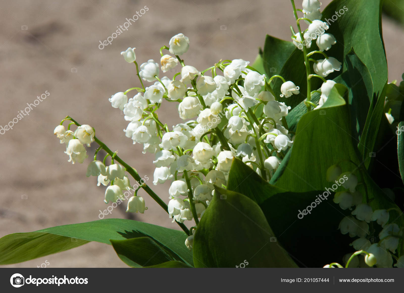 Pictures : lilies of the valley flowers | Lily Valley Flowers Natural  Background Blooming Lilies Valley Lilies Valley — Stock Photo © ekina1  #201057444