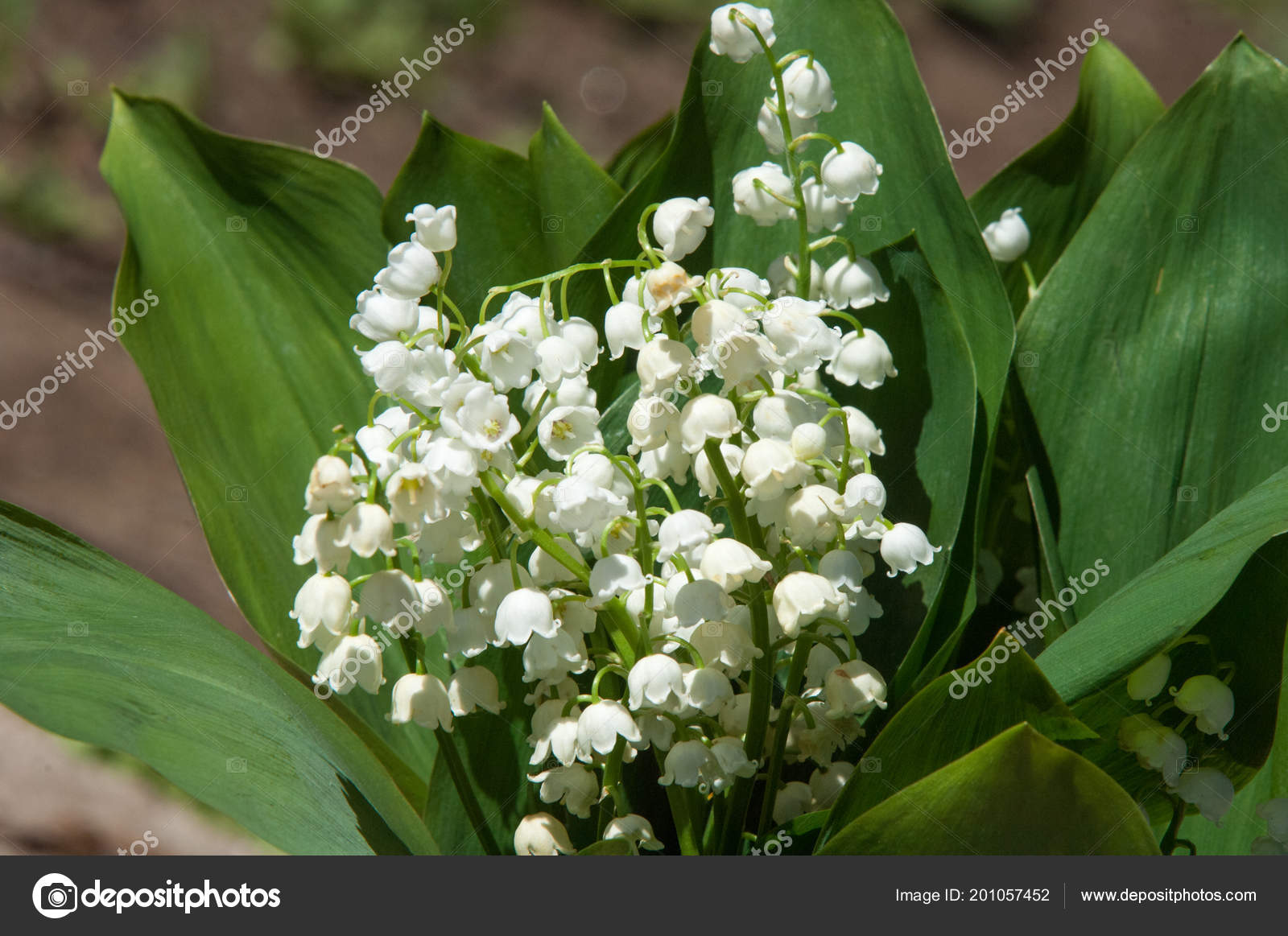 Pictures: lily of the valley flowers | Lily Valley Flowers Natural ...