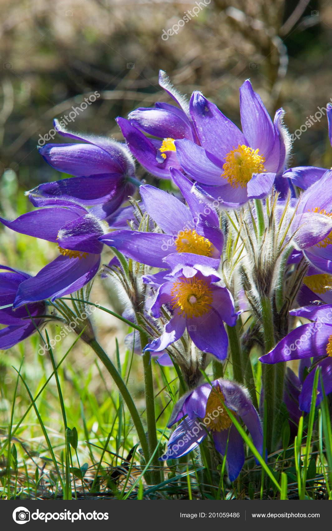Spring landscape flowers growing wild spring flower pulsatilla spring landscape flowers growing wild spring flower pulsatilla common names stock photo mightylinksfo