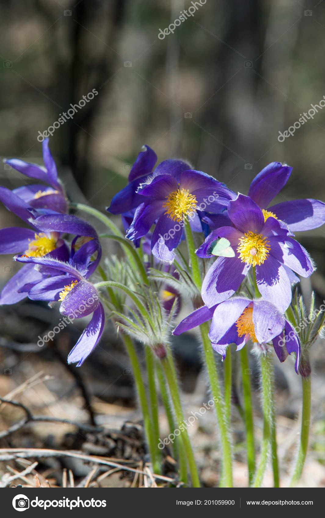 Paysage Printemps Fleurs Qui Poussent Dans Nature Fleur Anemone