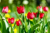 Spring landscape with flowers. Tulip. Beautiful bouquet of tulips. colorful tulips. tulips in spring, colourful tulip. Flower tulips background. Beautiful view of color tulips.