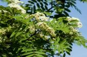 Sorbus aucuparia - květiny rowan. snížení rowan v jarním období. Bílé květy stromu rowan. Jaro. Kvetoucí shluk divoký jasan