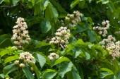 Kaštanové květiny. Větev kaštan zblízka. Fotografoval na pozadí svěží zelené listy bílé květy kaštanů. Kvetoucí větve kaštanu