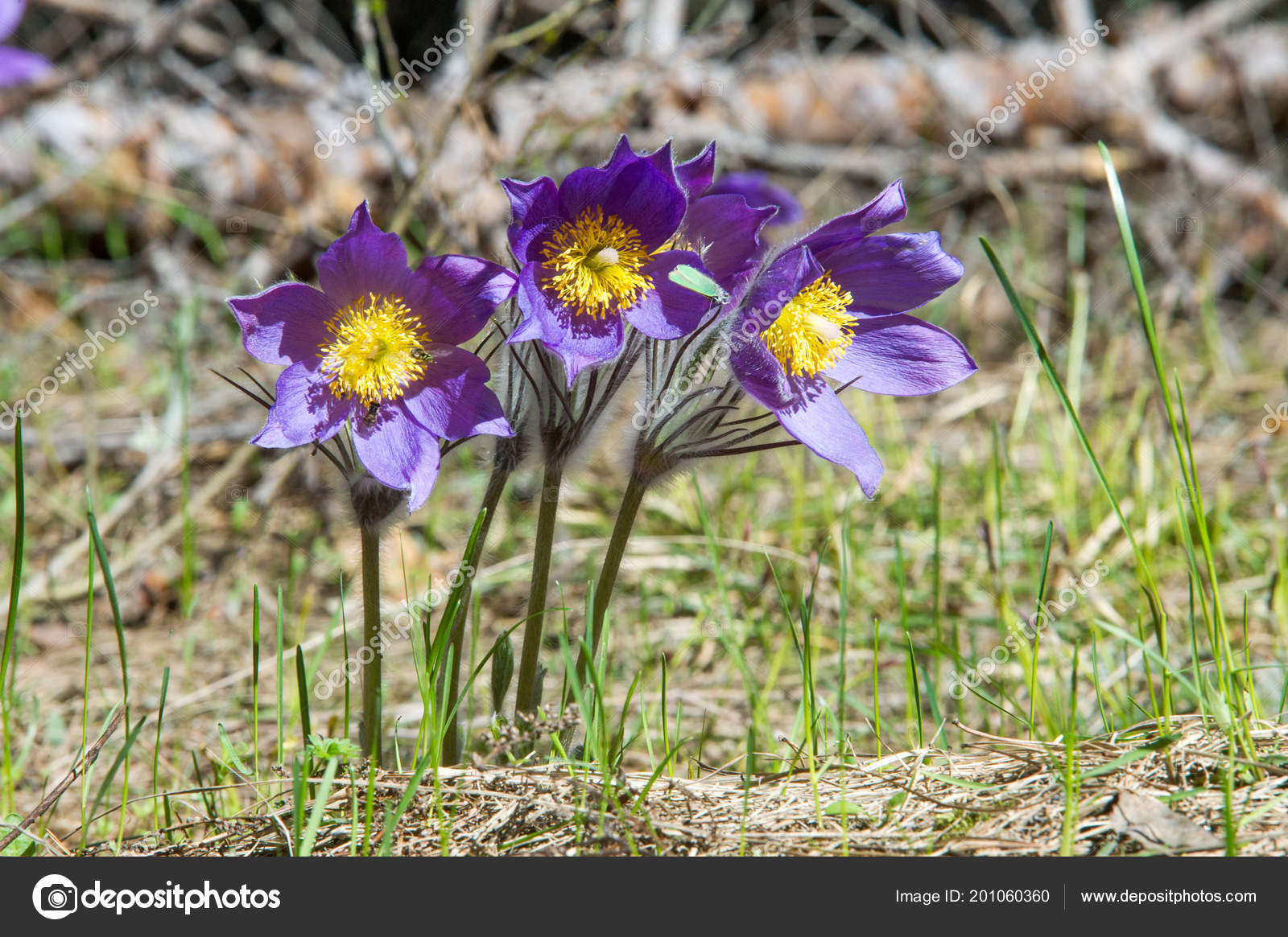 Spring landscape flowers growing wild spring flower pulsatilla spring landscape flowers growing wild spring flower pulsatilla common names stock photo mightylinksfo