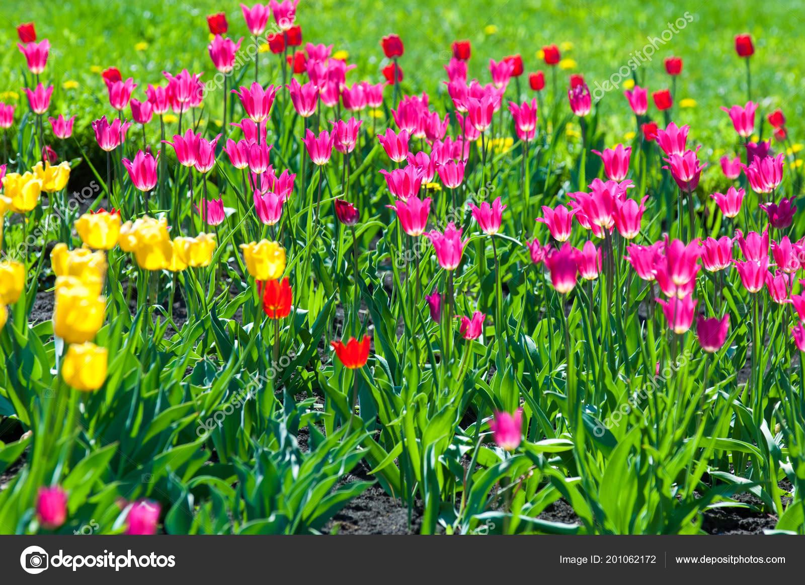 Fruhlingsblumen Sie Tulpen Tulpen Von Bunten Blumen Fruhjahr