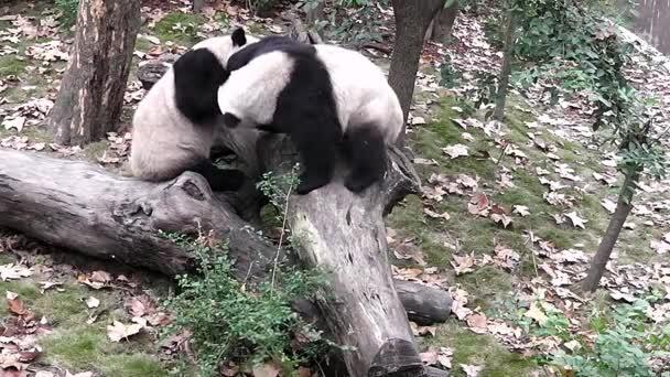 Giant Panda protect territory