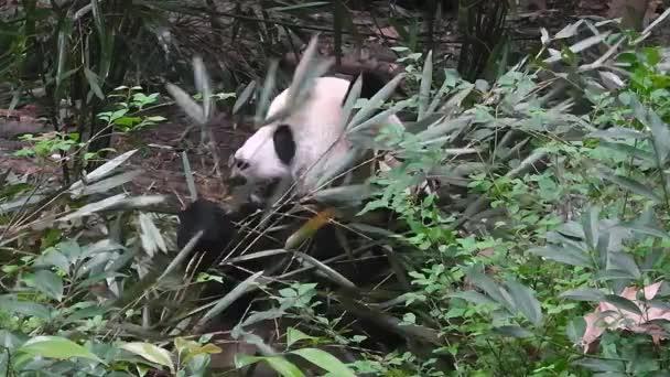 The giant panda eating bamboo