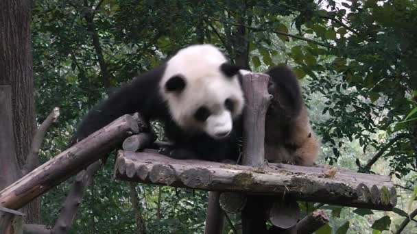 The giant panda bears
