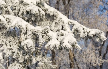 Spruce branches under the cap of snow, fir branch in snow isolated on the white background, christmas tree evergreen spruce tree with fresh snow on white, fir twig covered with snow, winter