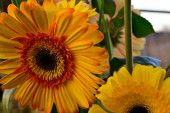 bouquet of beautiful gerbera flowers at summer sunny day, close view