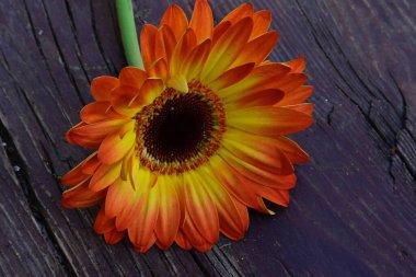 beautiful gerbera flower on wooden background, summer concept, close view