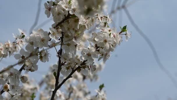 almafa ágak gyönyörű virágokkal, közelkép, tavaszi koncepció