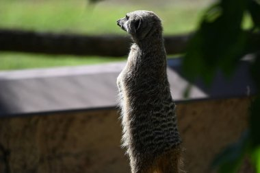 cute little meerkat resting on ground in zoo