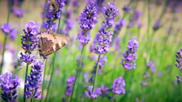Pillangó gyűjti a virágport virágok