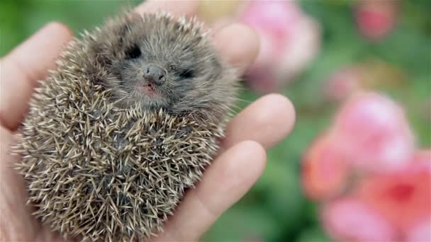 Little prickly hedgehog in his hand