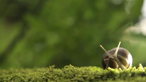 Hroznové šnek na zeleným mechem pomalu obrací svou hlavu