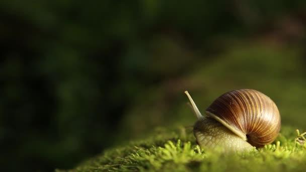 Zahradní šnek na zeleným mechem pomalu otočí hlavu