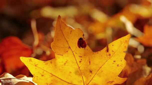 Červená beruška, sedí na zažloutlé javorový list na podzim roku 1280 x 720