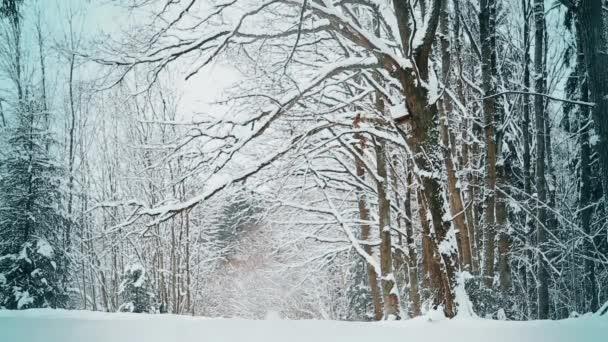 Zasněženým dubů v zimě v prosinci