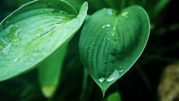 Na zeleném mokrém listu za slunečného dne byla vyvěšena průhledná kapka rosy HD 1920x1080
