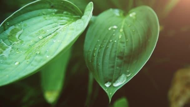 auf einem grünen nassen Blatt an einem sonnigen Tag einen transparenten Tropfen Tau