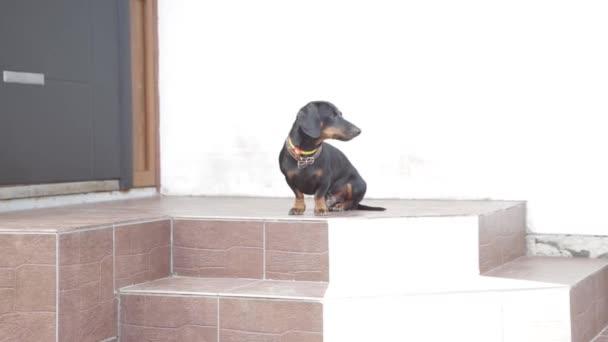 Jezevčík sedí na verandě domu, slyšel něco, štěká