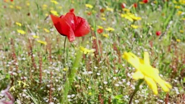 One red poppy flower in rural field with colored wildflowers around ,windy and sunny day , a moving blade of grassin front of the poppy