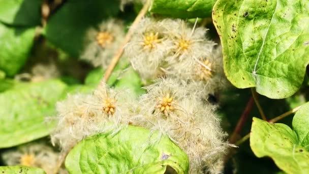 Gyönyörű vetőmag klaszterek a klematisz iszalag-utazó s öröm vagy öreg ember szakálla-, hegymászás cserje invazív növény, fényes mag feje ellen, zöld levelek