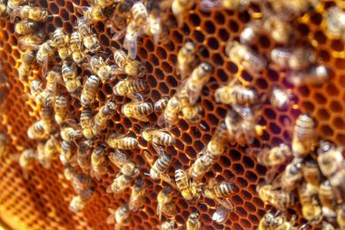 Honey Bee in Bee Colony