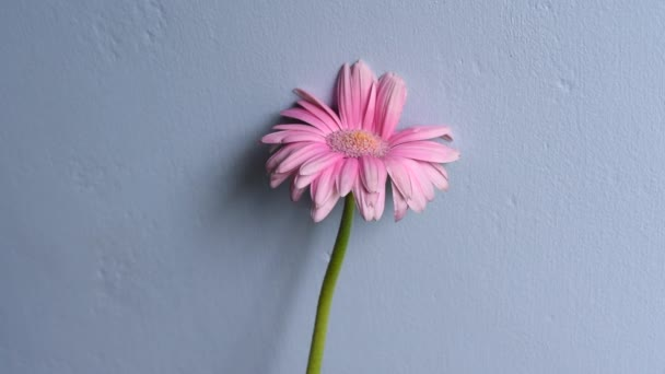 Gorgeous pink flower on grey wall background.