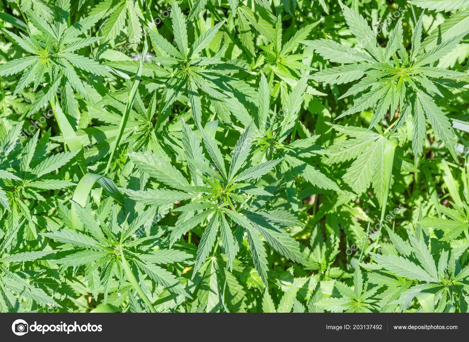 Pictures: wild hemp | Top View Young Plants Wild Growing