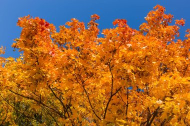 Branches of maple with autumn leaves against of clear sky