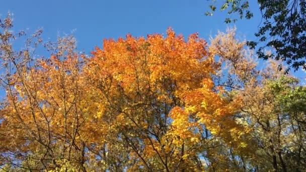 Ősszel. Természetes háttérben az őszi fák. Sárga lomb ellen, blue sky.