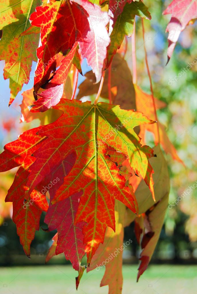 Leaves of Quercus downmost during the autumn time