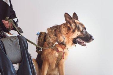 Shepherd, sakat tekerlekli sandalye kullanıcısı ile servis köpeği.