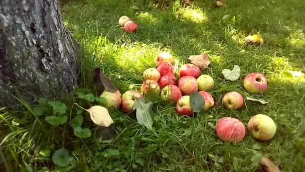 Podzimní sklizeň. Mnoho zralých jablek. Na podzim žluté listí.