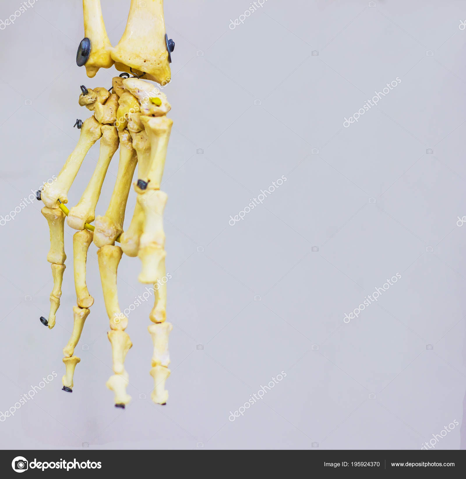 Articulan Los Huesos Del Carpo Mostrando Anatomía Mano Humana Fondo ...