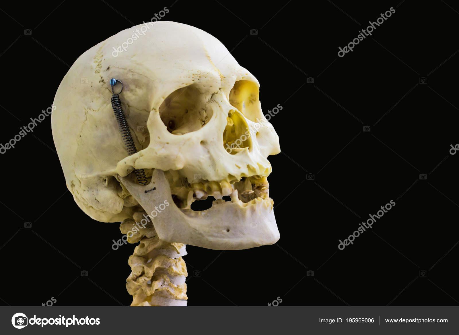 Gegliederten Menschlichen Schädelknochen Und Halswirbel Für Kopf Und ...