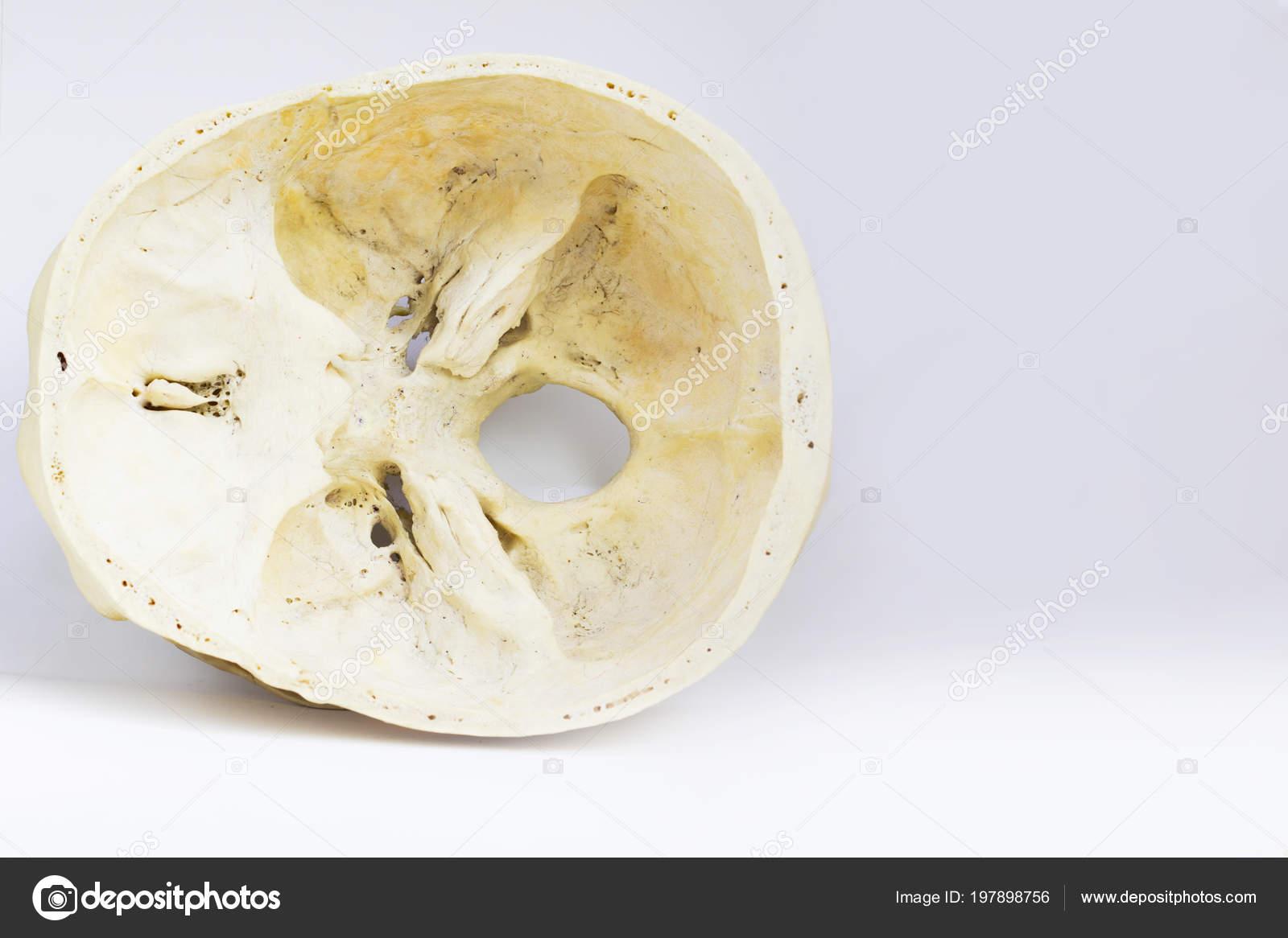 Top View Base Human Skull Showing Sphenoid Bone Foramen Magnum ...