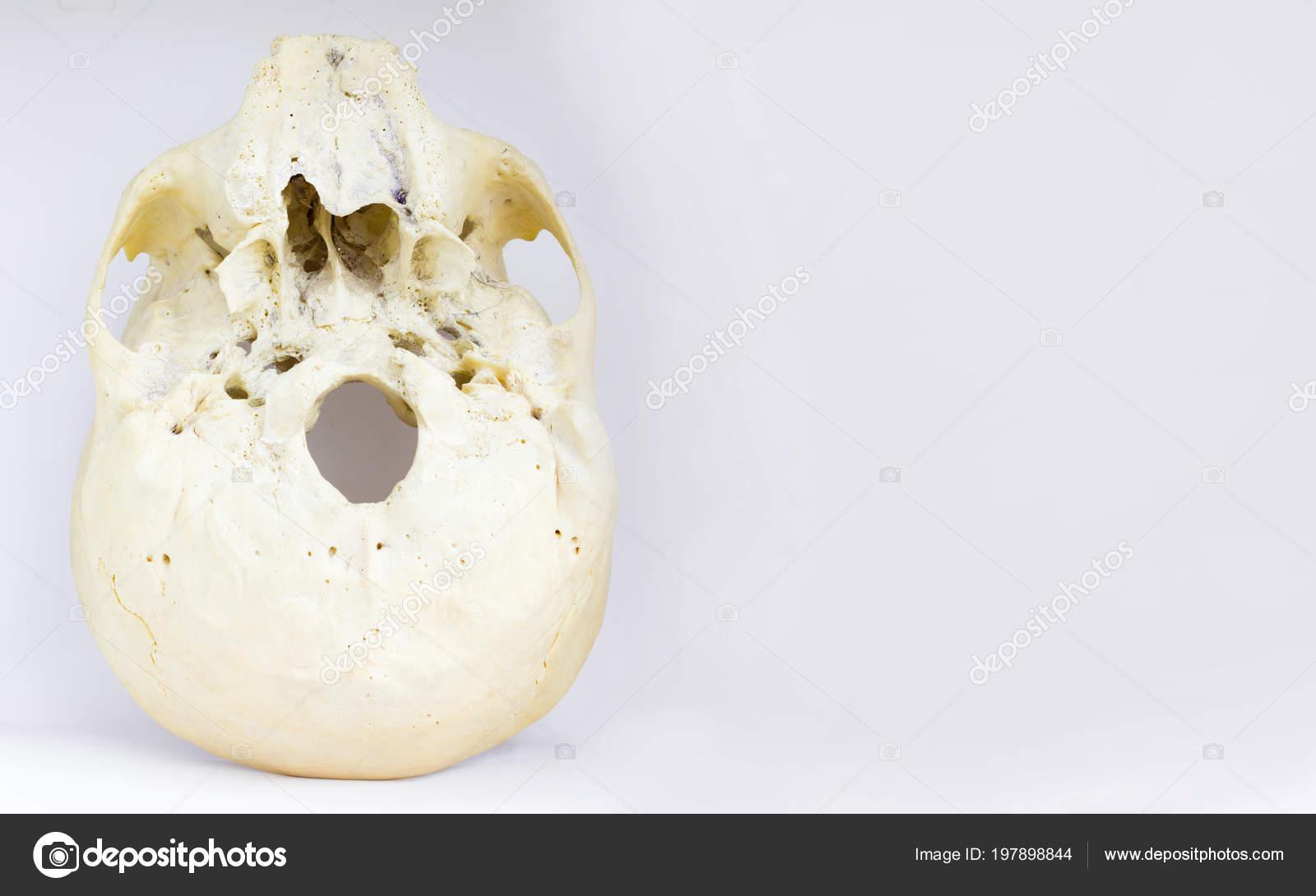 Vista Inferior Base Del Cráneo Humano Mostrando Maxilar Botella ...