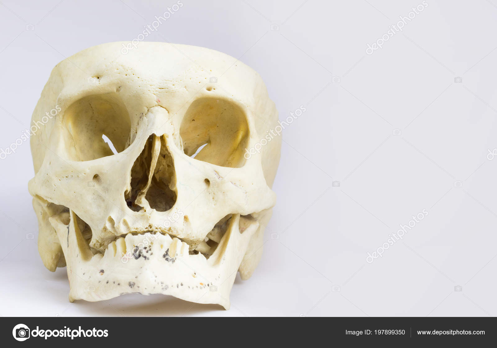 Front Anatomical View Human Skull Bone Mandible Vault Skull Isolated